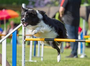 Athletic Dog Jumping Over Obstacle