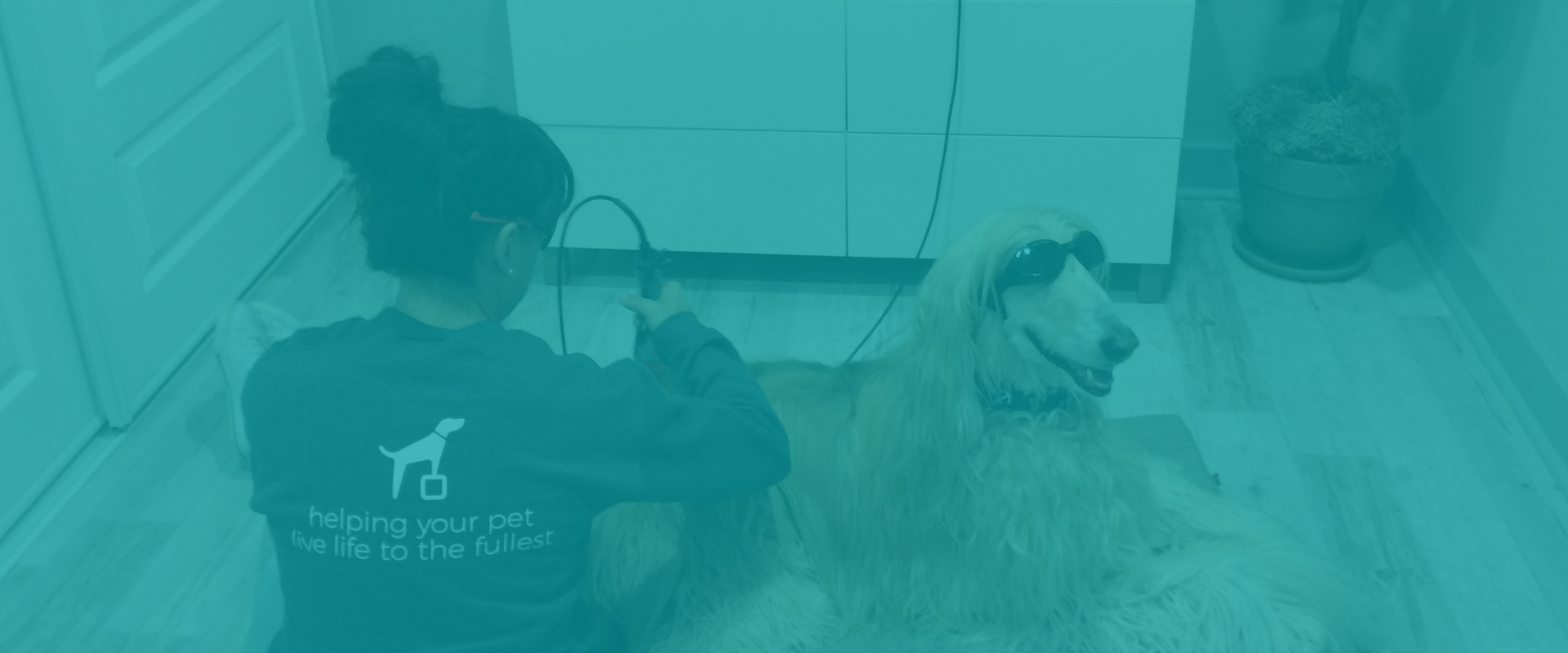 Afghan Dog Receiving Laser Therapy Treatment